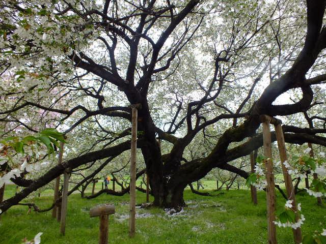 4月10日 小金井公園見て歩き 桜編。_e0145782_17343057.jpg