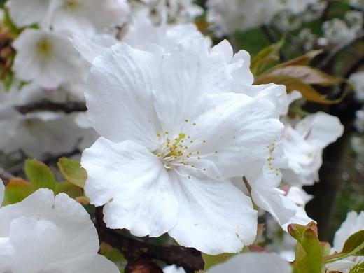 4月10日 小金井公園見て歩き 桜編。_e0145782_17352717.jpg