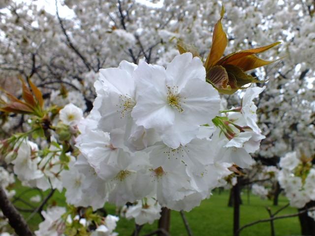 4月10日 小金井公園見て歩き 桜編。_e0145782_1735297.jpg