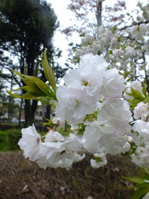 4月10日 小金井公園見て歩き 桜編。_e0145782_17355428.jpg