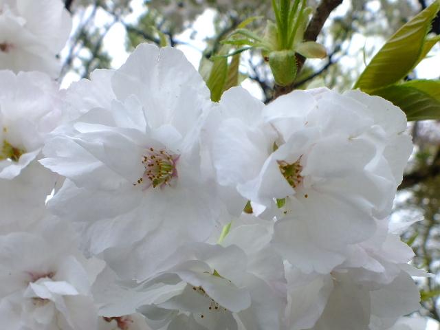 4月10日 小金井公園見て歩き 桜編。_e0145782_17362030.jpg