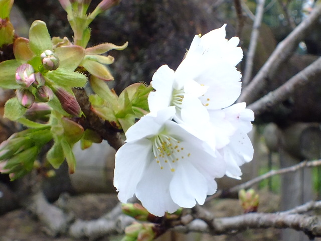 4月10日 小金井公園見て歩き 桜編。_e0145782_1736468.jpg