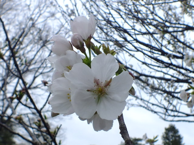 4月10日 小金井公園見て歩き 桜編。_e0145782_17373069.jpg