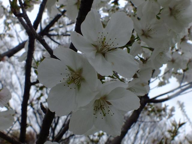 4月10日 小金井公園見て歩き 桜編。_e0145782_17375521.jpg