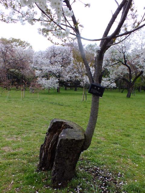 4月10日 小金井公園見て歩き 桜編。_e0145782_17382297.jpg
