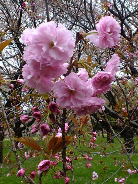 4月10日 小金井公園見て歩き 桜編。_e0145782_17384479.jpg