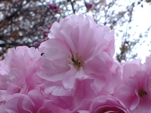 4月10日 小金井公園見て歩き 桜編。_e0145782_17391545.jpg