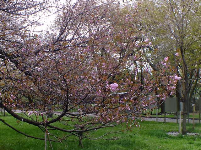 4月10日 小金井公園見て歩き 桜編。_e0145782_1740106.jpg