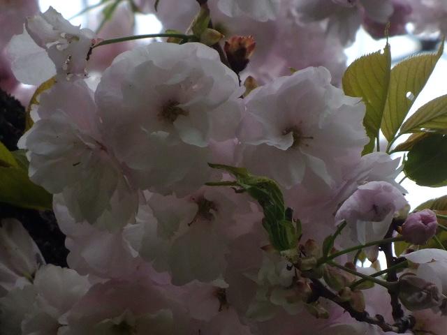 4月10日 小金井公園見て歩き 桜編。_e0145782_1740279.jpg