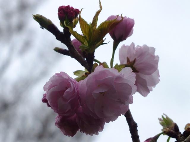 4月10日 小金井公園見て歩き 桜編。_e0145782_17404852.jpg
