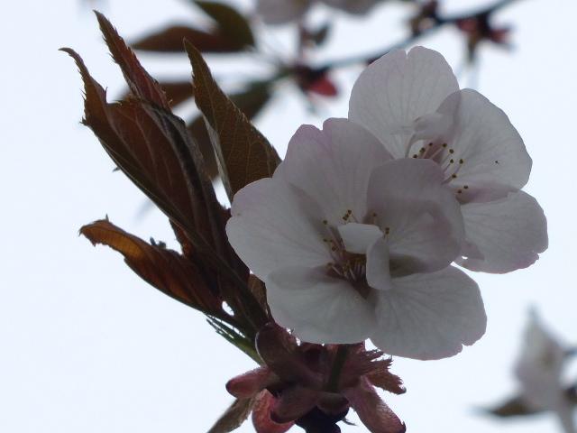 4月10日 小金井公園見て歩き 桜編。_e0145782_17411616.jpg