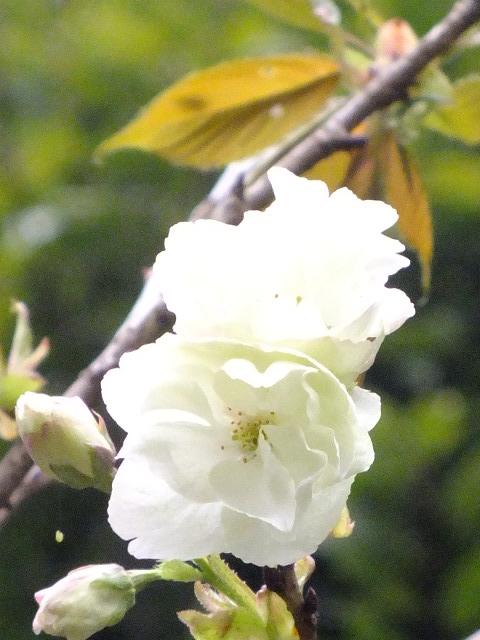 4月10日 小金井公園見て歩き 桜編。_e0145782_17413884.jpg