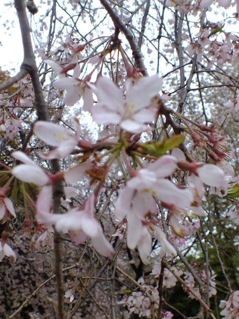 4月10日 小金井公園見て歩き 桜編。_e0145782_17424278.jpg