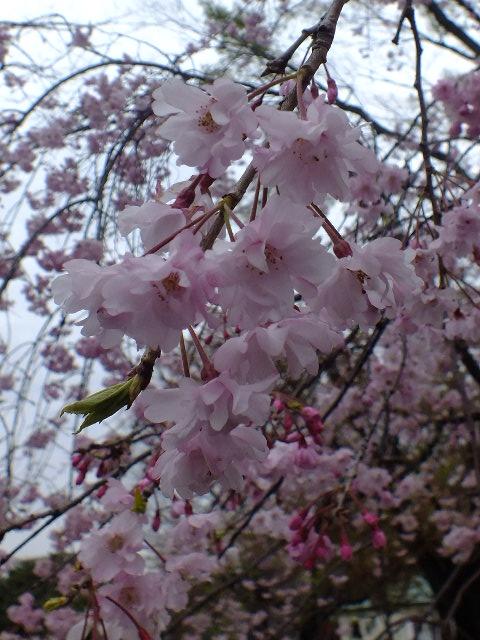 4月10日 小金井公園見て歩き 桜編。_e0145782_17431473.jpg