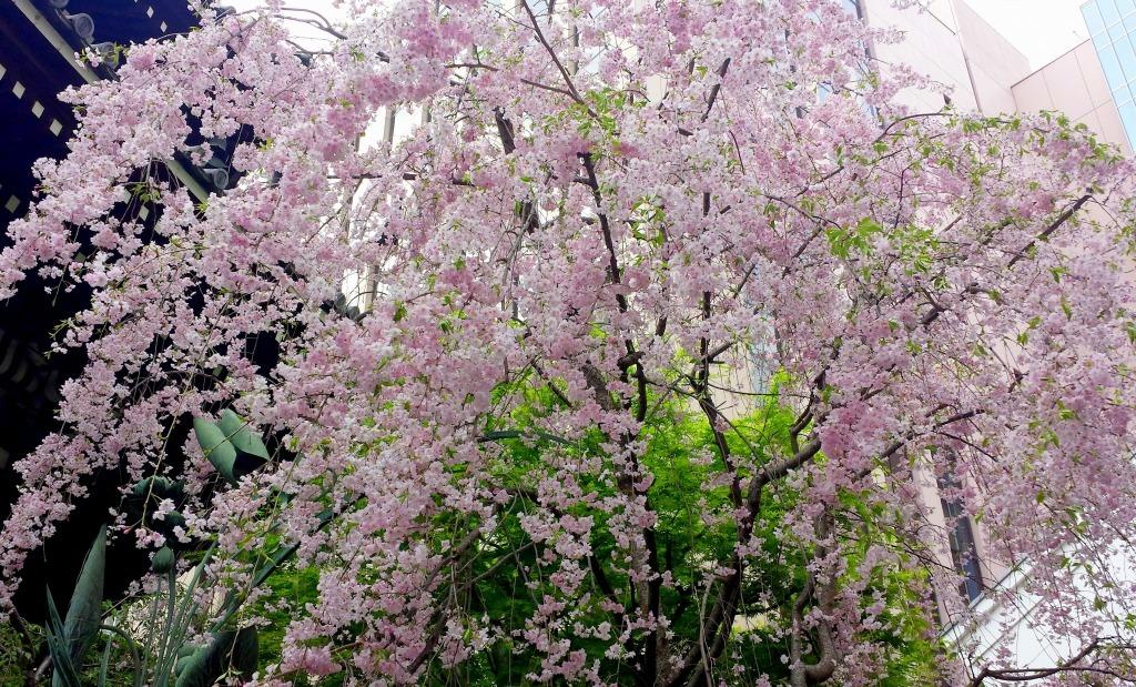 【京都】六角堂の桜_c0348200_18225514.jpg