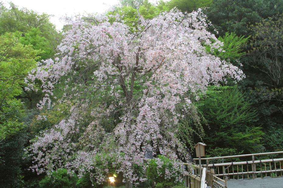 東京で最後のお花見_b0190710_22543565.jpg