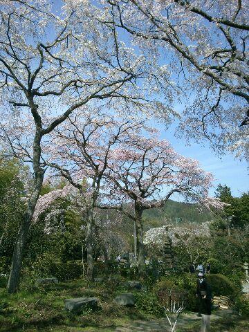 すっかり今は葉桜ですが_b0330312_19082060.jpg