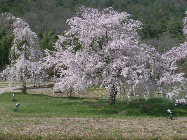 すっかり今は葉桜ですが_b0330312_19085258.jpg