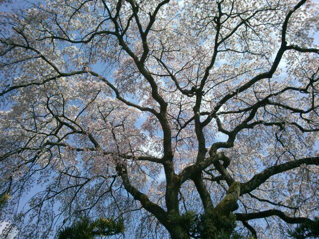 すっかり今は葉桜ですが_b0330312_19090381.jpg