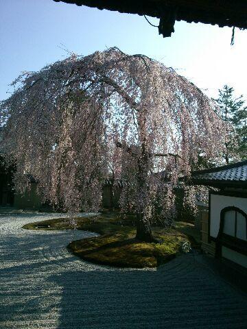 すっかり今は葉桜ですが_b0330312_19123393.jpg