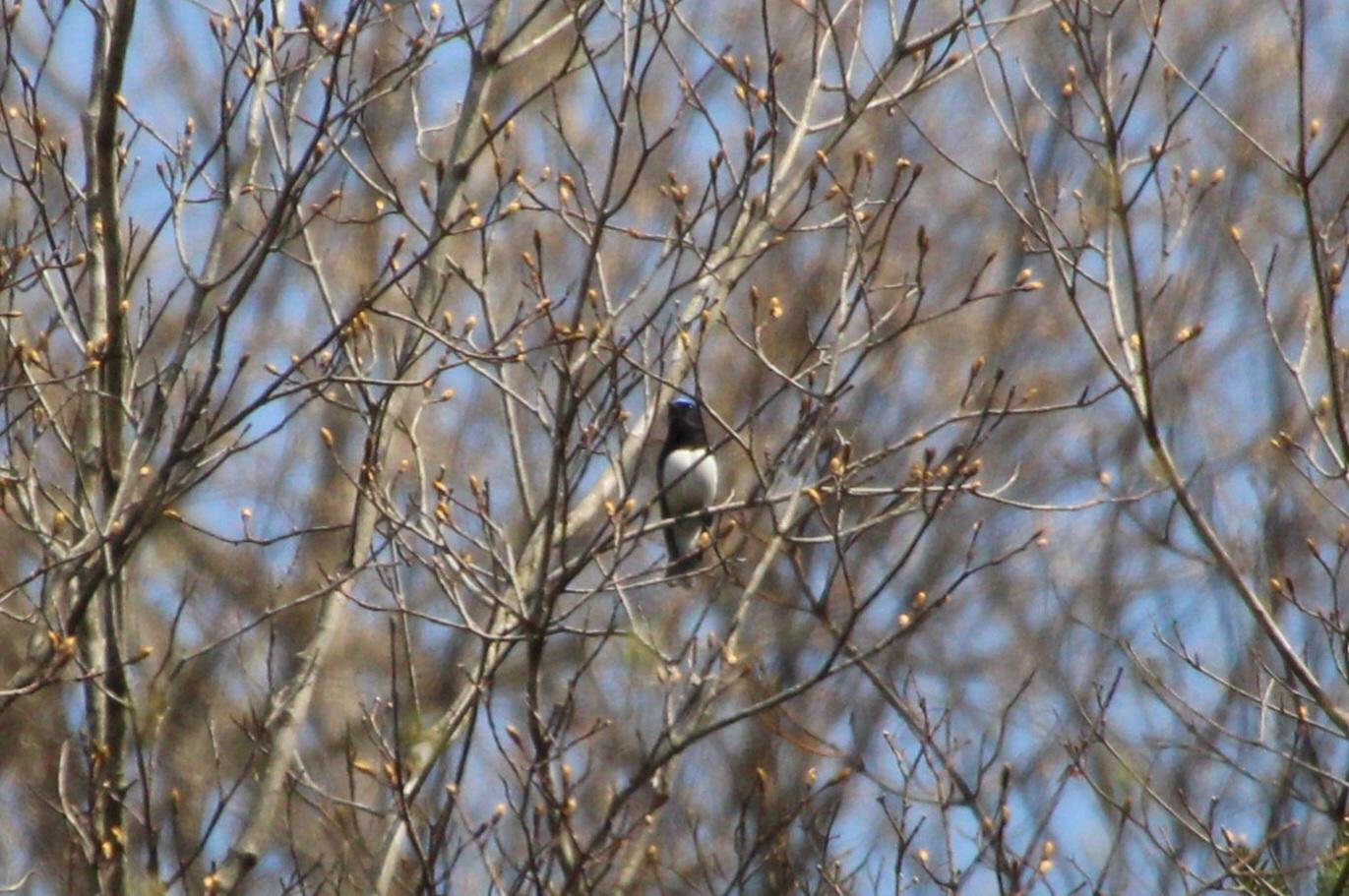 2015.4.12 夏鳥来てます・早戸川林道・センダイムシクイ(A summer bird comes)_c0269342_21080224.jpg