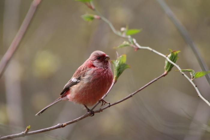2015.4.12 夏鳥来てます・早戸川林道・センダイムシクイ(A summer bird comes)_c0269342_21084689.jpg