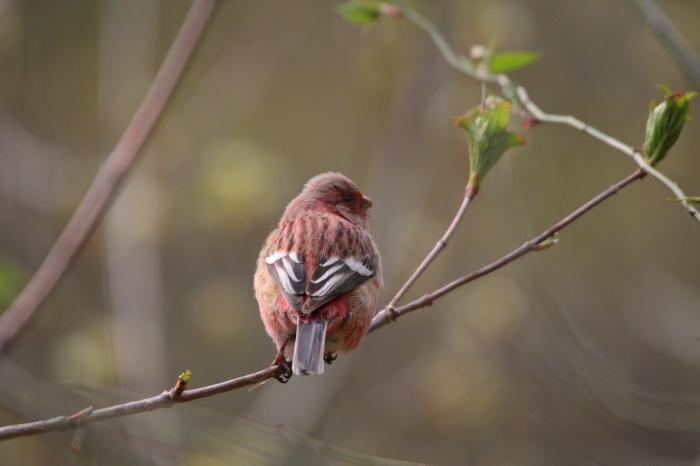 2015.4.12 夏鳥来てます・早戸川林道・センダイムシクイ(A summer bird comes)_c0269342_21093688.jpg
