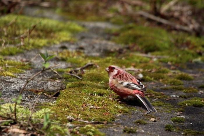 2015.4.12 夏鳥来てます・早戸川林道・センダイムシクイ(A summer bird comes)_c0269342_21110121.jpg