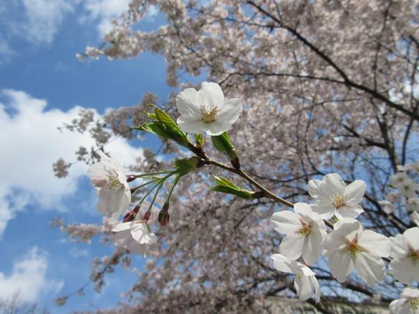 Kirschblütenzeit 2015_e0116763_20575592.jpg
