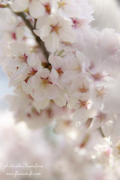 京都さくらフォト2 上賀茂神社へ_c0137872_12145395.jpg