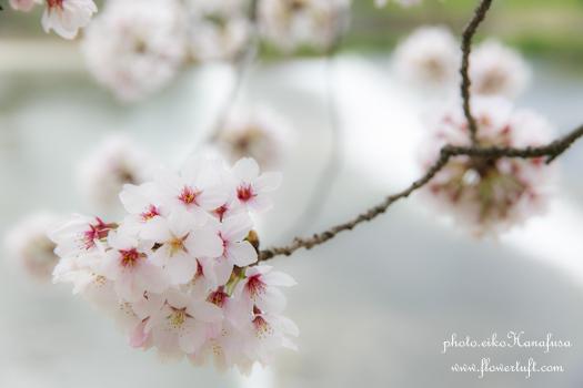 京都さくらフォト2 上賀茂神社へ_c0137872_12175544.jpg
