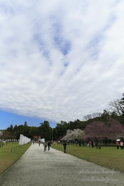 京都さくらフォト2 上賀茂神社へ_c0137872_12193971.jpg