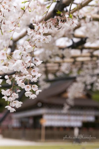 京都さくらフォト2 上賀茂神社へ_c0137872_12202993.jpg