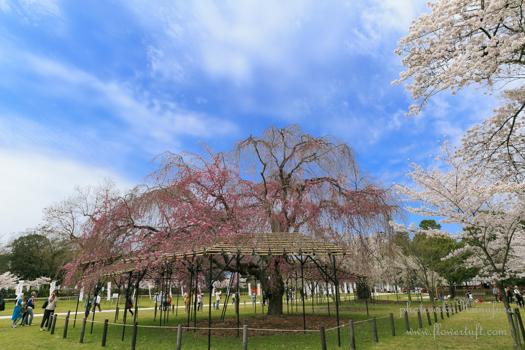 京都さくらフォト2 上賀茂神社へ_c0137872_1220437.jpg