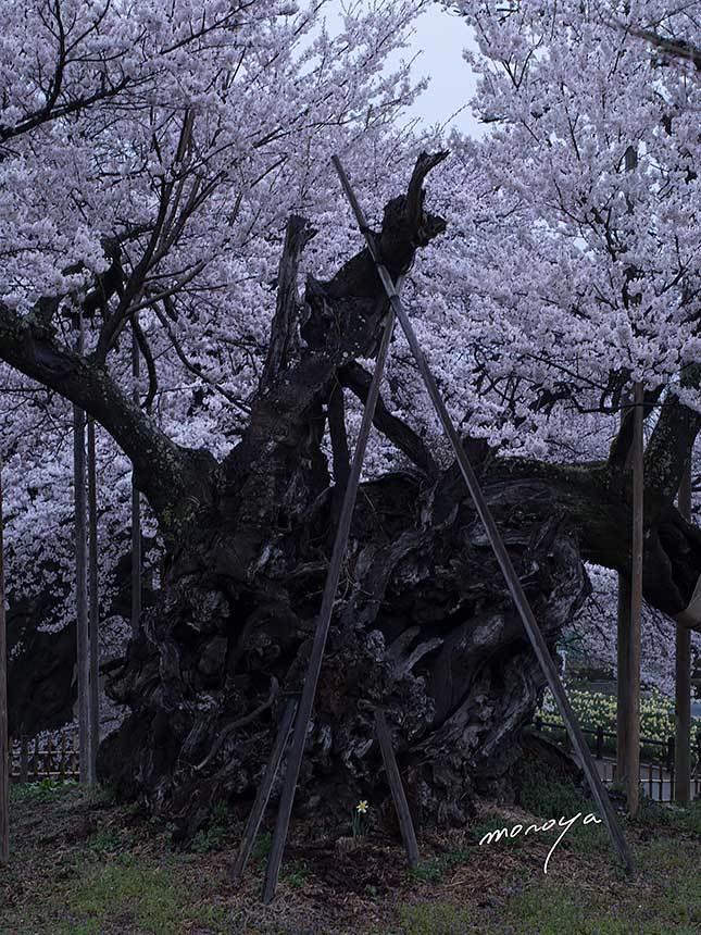 山高神代桜2_c0085877_06241276.jpg