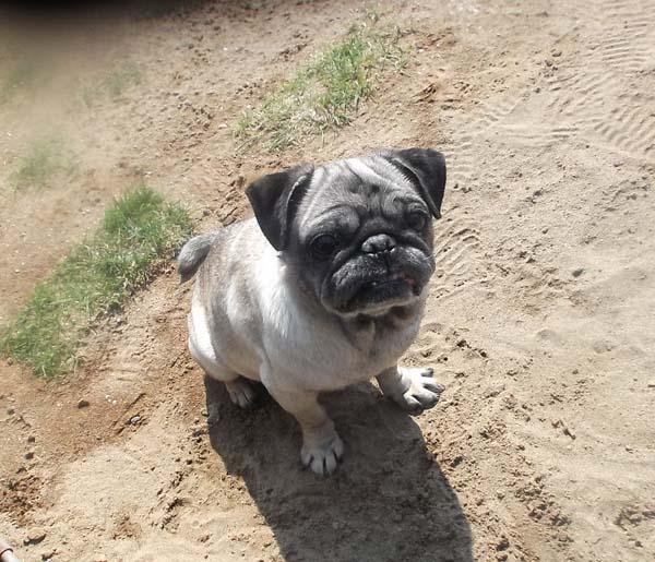 パグ犬のチョコちゃん_f0019498_18341021.jpg