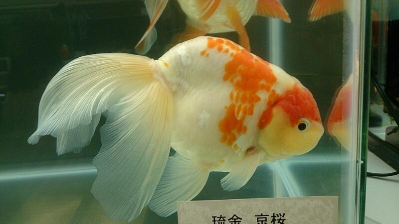 観賞魚フェア(2015)…vol.3_b0298605_1915101.jpg