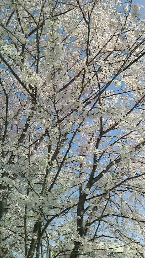 お花見 ❀✿❀_b0282408_15532981.jpg