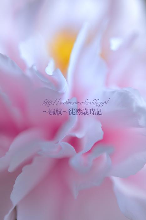 牡丹 ~初化粧~_f0235723_1844080.jpg