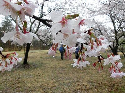 「花の雨」・・・我が町シリーズ白州(白須)_f0019247_2224301.jpg