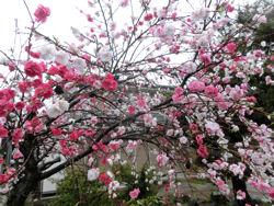 「花の雨」・・・我が町シリーズ白州(白須)_f0019247_22393892.jpg