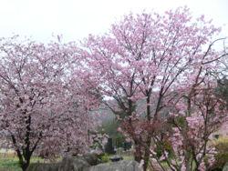「花の雨」・・・我が町シリーズ白州(白須)_f0019247_22395716.jpg