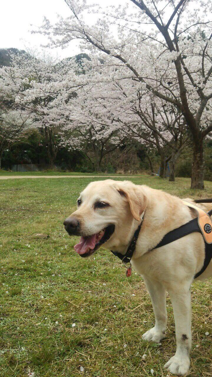 さらくんからの桜便り届きました_d0297649_22183993.jpg