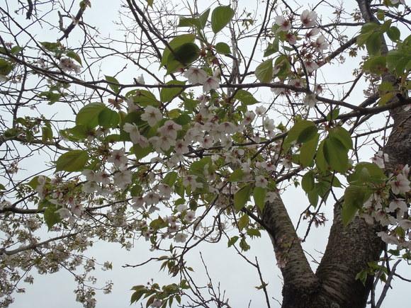●4月13日(月)かみす桜まつり会場開花状況●_f0229750_1012259.jpg