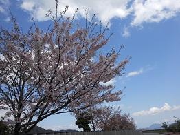 まだまだ続く河岸の桜、これから見頃!?_e0175370_17231857.jpg