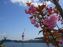 まだまだ続く河岸の桜、これから見頃!?_e0175370_17241829.jpg