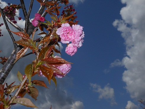 まだまだ続く河岸の桜、これから見頃!?_e0175370_1725195.jpg