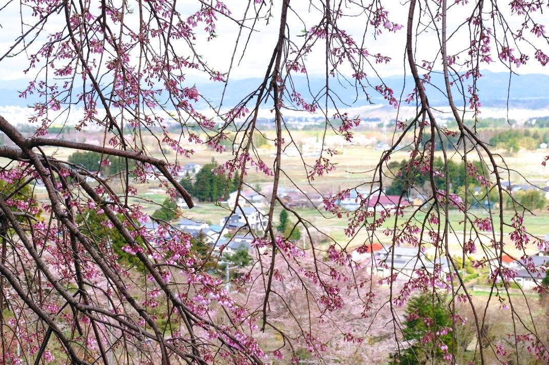 慈徳寺の種まき桜 福島市佐原 2015・04・11_e0143883_1931377.jpg