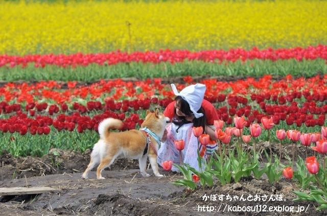佐倉チューリップフェスタ2015_a0126590_22112107.jpg