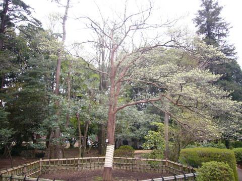 ハナミズキが日本に来て100年が経ちました。_b0172896_15373050.jpg